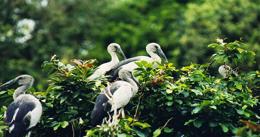 Ranganathittu bird sanctuary mysore