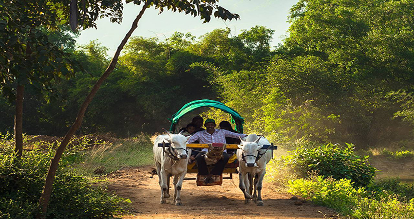 bullock ride in village