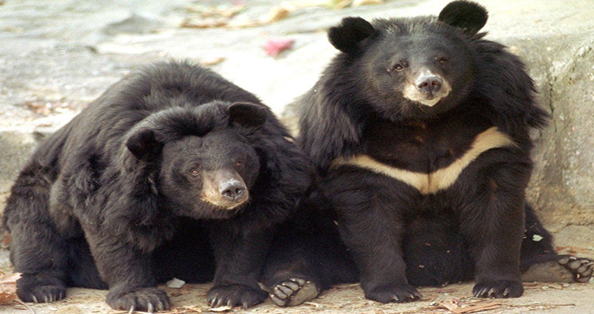 leopard and sloth bears